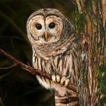 barred_owl_painting