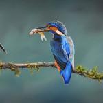 kingfishers_painting