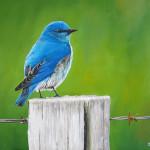 mountain_bluebird_painting