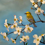 warbler_in_dogwood_painting